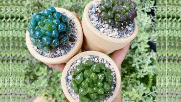 cách trồng sen đá kim cương