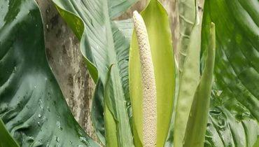 cây đại phú gia trổ bông có ý nghĩa gì