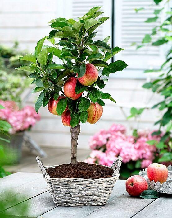 cây táo đỏ lùn