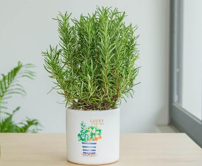 chăm sóc cây hương thảo