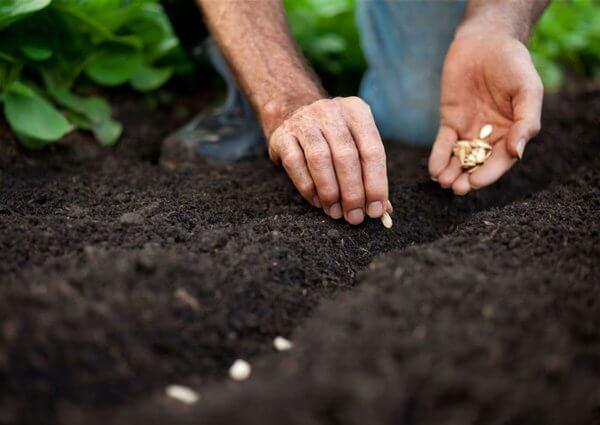 gieo hạt dưa leo