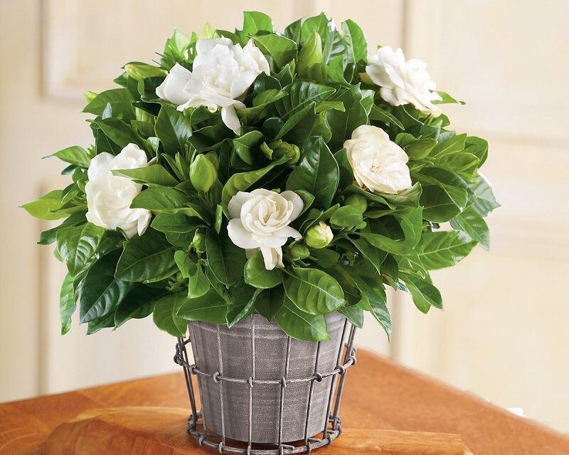 trồng hoa nhài trong chậu