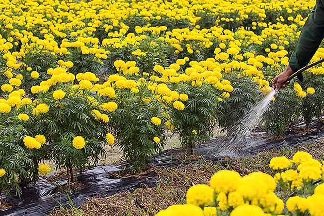 tưới hoa vạn thọ