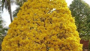 những cây mai đẹp nhất Việt Nam