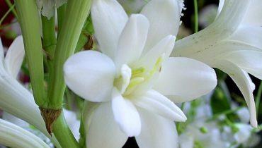 ý nghĩa hoa huệ trắng