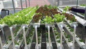 những loại rau trồng không cần đất
